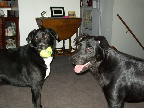 Dabney and Dudley - black Labrador Retrievers