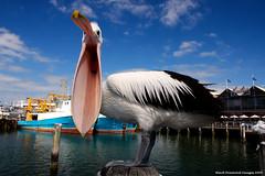 Pelecanus conspicillatus - Australian Pelican (Black Diamond Images) Tags: bird australia pelican wa fremantle westernaustralia seabird fremantleharbour australianbirds pelecanus australianpelican pelecanidae pelecanusconspicillatus