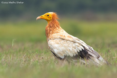 Egyptian Vulture. (madhu_s69) Tags: vultures egyptian egyptianvulture egyptianvulturevultures