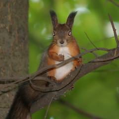 The Skittering Forest Ghost (TomiTapio) Tags: pose iso800 helsinki eyes squirrel ears whiskers stare redeye orava staring upatree sqrl inbuiltflash kurre canonef90300mmf4556usm suursuo selectedareasharpening