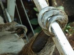 Sloth Claws