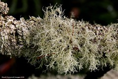 Usnea sp. - Mt Barker Banksia Farm (Black Diamond Images) Tags: southwest wa lichen westernaustral
