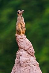 [フリー画像] 動物, 哺乳類, ミーアキャット, 201109052300