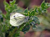 (Mr Grimesdale) Tags: butterfly stevewallace britishbutterflies mrgrimesdale