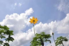 cosmos flower and clouds (e.nhan) Tags: blue light sky flower art nature yellow closeup clouds landscape colorful cosmos backlighting enhan