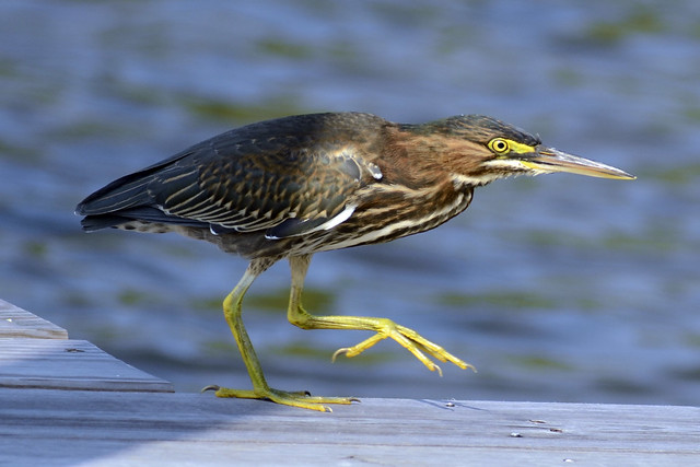 Green Heron on Dock IV
