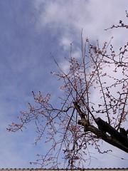 門脇保育園前の秋咲きの桜