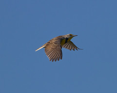 Eastern Meadowlark Photo