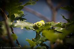 Eiche (MarkusGW) Tags: world summer tree nature season switzerland tessin ticino europe flickr hiking sommer jahreszeit internet lugano wandern westerneurope publication flickrcom remark wwwflickrcom southernswitzerland