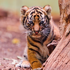Emerging from behind the log (Tambako the Jaguar) Tags: wild baby cute cat germany zoo cub big interesting nikon frankfurt tiger small coming sumatran careful curous d700