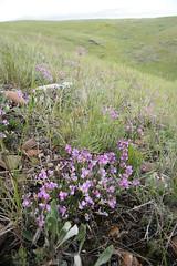 The Purple Hills (peterkelly) Tags: canada flower green grass digital purple northamerica prairie saskatchewan wildflower slope brokenhills grasslandsnationalpark valmarie