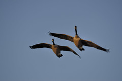 Canada Geese DSC_1120 by Mully410 * Images