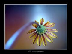 Beautiful Summer # 10 (by_COSKUNTUNA ... 3.999.000 THANK YOU) Tags: life flowers flower macro nature beautiful beauty canon niceshot çiçek 2011 a560 olétusfotos coskuntuna ringexcellence artistoftheyearlevel3 artistoftheyearlevel4