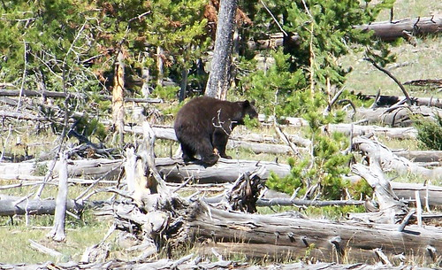 100_0904a-Yellowstone NP-Black Bear