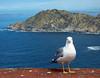 Gaviota en Cíes (carlinhos75) Tags: naturaleza mar nikon retrato galicia cielo gaviota islas pontevedra cíes posado p5000 parquenacionaldasillasatlánticas