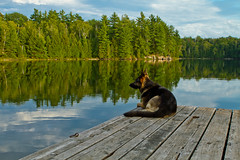 Kimi on the Dock in Harcourt Park (Christopher Brian's Photography) Tags: sunset ontario canada kimi alsatian canonef2470mmf28lusm longlake deutsche germanshepherddog harcourtpark canoneos7d