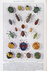 Plate XVIII - Insect Rivals of the Rainbow (Thomas Shahan 3) Tags: old color art set vintage magazine print photography colorful antique insects science collection national biology geographic arthropods arthropoda zoology entomology specimens insecta