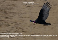 Turkey vulture Birding Peru (4) (Nature Expeditions 06) Tags: world new trip sea vacation bird peru nature port turkey island islands marine holidays tour birding stefan trips guide vulture aura guano colonies turkeyvulture cathartesaura cathartes expeditions pucusana cathartidae newworldvultures birdguide sealioncolonies natureexpeditions birdinginperu austermhle birdingperu vulturesofperu