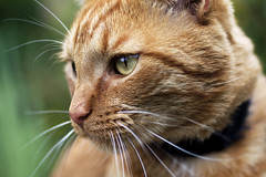 Buddy (DFChurch) Tags: orange nature animal cat eyes feline bokeh buddy whiskers highqualityanimals