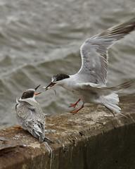 Fosters Tern (Dah Professor) Tags: brigantine kh0831 2011 bird predator prey predatory behavior aquaticbird nj