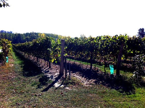 Armangac grapes