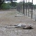 Fences set up in Botswana prevent migration