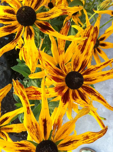 Black Eyed Susans by teach.eagle