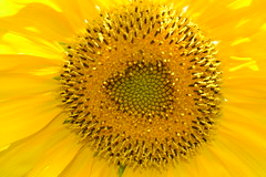 Sunflower (Hamidreza Yousefi) Tags: iran farm persia sunflower   natanz