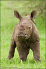 Little miss Runny Nose (hvhe1) Tags: africa baby nature animal southafrica mammal toddler wildlife safari rhino mala rhinoceros gamedrive gamereserve whiterhino neushoorn oxpecker malamala redbilledoxpecker specanimal hvhe1 hennievanheerden