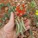Fabaceae>Swainsona formosa Sturt's Desert Pea DSCF4369