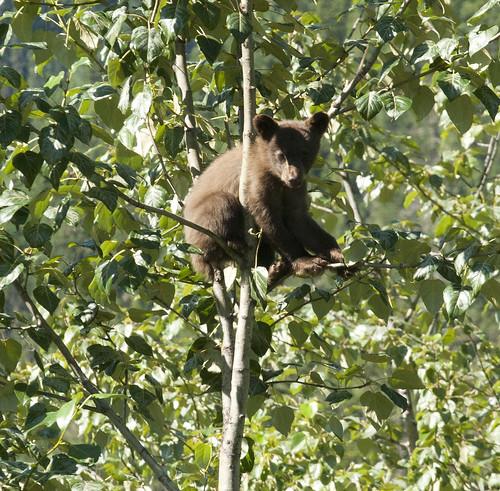 baby-bear_7