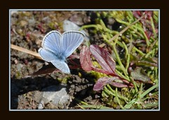 Tiny Butterfly (Bea Hive) Tags: blue usa butterflies jackson tiny grandtetons wy schwabaucherslanding