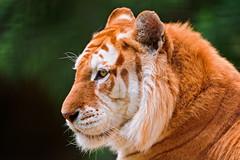 [フリー画像] 動物, 哺乳類, 虎・トラ, 201108181700