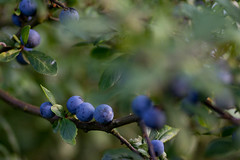 Unknown berries (Sommer, Peter) Tags: blue summer tree green nature canon berry dof bokeh many small natur 85mm twig grn beere eos60d