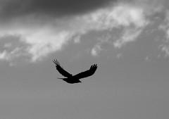 DSC01820m (Terry Skibby) Tags: sky bird nature clouds oregon flying flight crow ashland