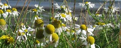 summer flowers (feefers3) Tags: summer white flower colour yellow petals insects daisy mayweed