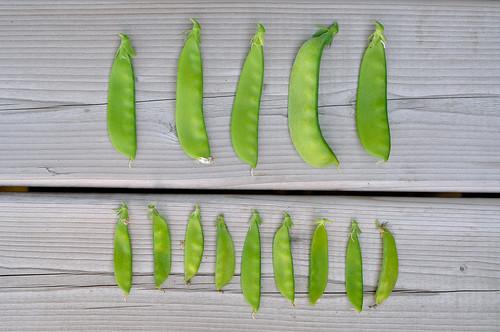 Snow peas versus Norli snow peas