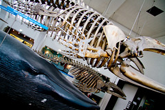 Bowhead Whale & Blue Whale (elrina753) Tags: uk great