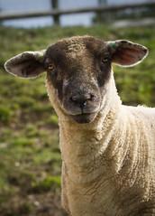 Sheep (DrMAD) Tags: black wool face field canon sheep somerset 7d exmoor ef100mmf28isusmii