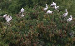 Slice of life in Pelican colony (Nagarjun) Tags: birds bangalore herons madivala madiwala spotbilledpelicans egerts