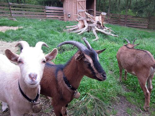 Ziegen - Die Alm - Rodenberg