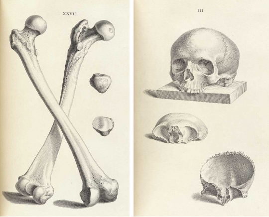 Accuracy And Elegance In Cheseldens Osteographia 1733 The