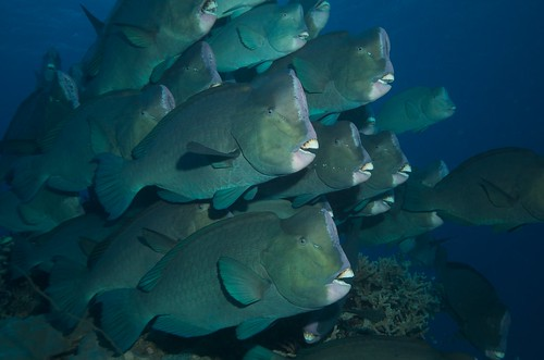 Possibly the ugliest fish on the reef? Bumpheaded Parrotfish