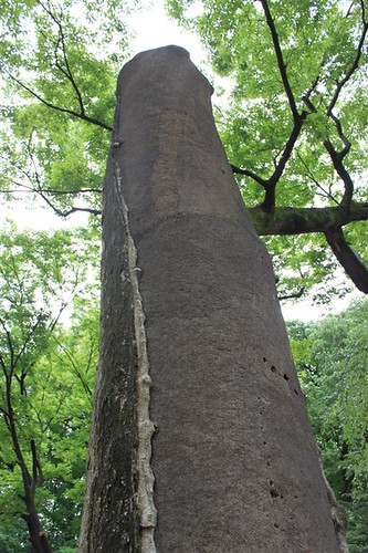 Tall tree with many histories at Changdeokgung Palace, Seoul South Korea