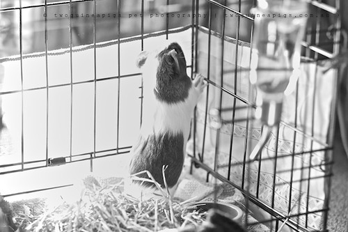 Explorer, guinea pig Gertrude's portrait by twoguineapigs pet photography