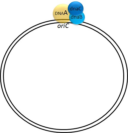 DNA replication in E. coli: Pre-primosome
