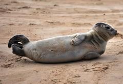 Cute Factor 1 Million! (Fiona in Eden) Tags: trip sea sky creek point coast boat sailing wildlife norfolk seal sandbanks sandbank blakeney morston