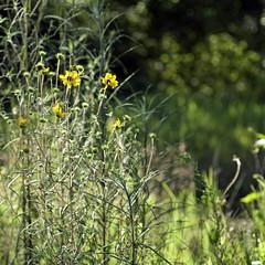 240/365 Weeds and Wildflowers (Maggggie) Tags: bokeh wildflowers weeks samslakewildlifesanctuary 2011inphotos