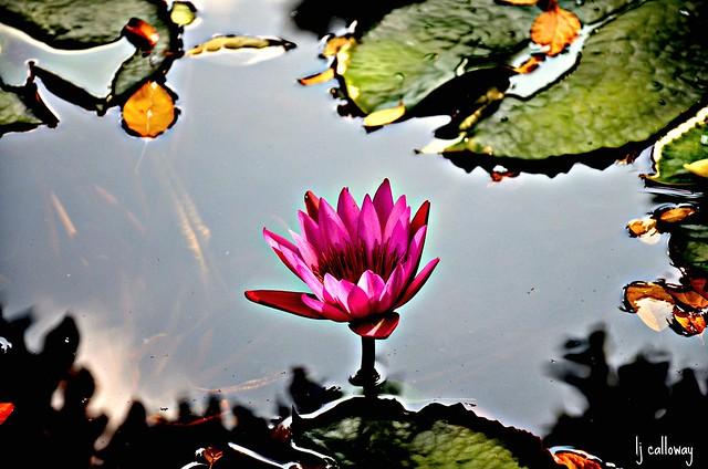 Water flower 017