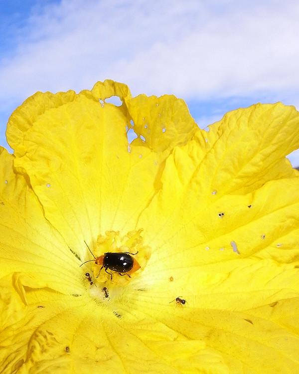 ヘチマの花にとまる虫